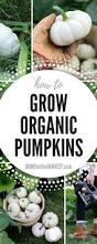 Homemade Fertilizer For Pumpkins by How To Grow Organic Pumpkins