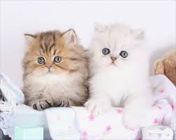 tea cup cat teacup persians for teacup kittens for saleultra