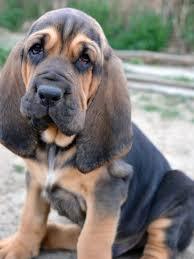 Low Shedding Big Dogs by Best Dog Food For Bloodhounds Dog Food Guru