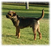 Do Border Terriers Shed by Size Temperament And Behaviour Of Blamich Border Terriers
