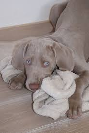 Llbean Dog Bed by 1213 Best Weimaraner Images On Pinterest Weimaraner Animals And
