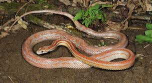 Corn Snake Shedding Signs by How To Choose And Care For A Corn Snake
