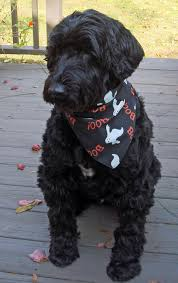 Portuguese Water Dog Shedding Problems by Woody The Portuguese Water Dog I U0027m Falling In Love Again