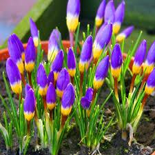 crocus sieberi tricolor 20 flower bulbs buy order now