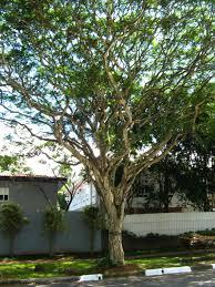 100 Pau Brazil Pau Ferro Tree Caesalpinea Ferrea Ironwood Av Rebou