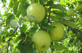 Pumpkin Patch Near Greenville Nc by Grandad U0027s Apples N U0027 Such U2014 Apples Pumpkins Corn Maze