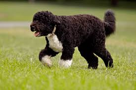 Non Shedding Dog Breeds With Pictures by Large Dog Breeds That Don T Shed Dog Breeds Puppies