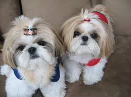 No Shed Small Dogs by Lovely Small Dog Breeds Perfect For Allergic People