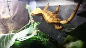 Halloween Harlequin Crested Gecko For Sale by Halloween Crested Gecko Hand Feeding Youtube