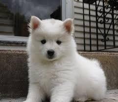 Toy American Eskimo Dog Shedding by American Eskimo Dog Eskimo Spitz Breed Pictures U0026 Info Petmd