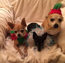 My 3 Rescue Chis - Decked Out For December Holidays, 2015. Fab ... You Me Pitch Roof Dog Kennel Small Petbarn Pet Barn Leads On Pet Christmas Gifts Australian Newsagency Blog Amazoncom Petmate Houses Supplies Petbarn Pty Ltd Chatswood Nsw Merchant Details Double Medium Blacktown Mega Centre The Local Business Rothwell Redcliffe Australia Signs Store Stock Photo My 3 Rescue Chis Decked Out For December Holidays 2015 Fab Hermit Crab Enclosure Vanessa Pikerussell Flickr Pleasant Royal Canin German Spherd Food 12kg Pet2jpg