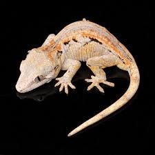 Do Leopard Geckos Shed by Keeping Gargoyle Geckos
