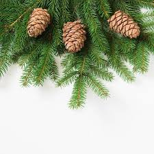 Christmas Tree Branches With Cedar Cones On A White Background Stock Photo