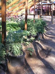 soil Blueberries in concrete block bed Gardening & Landscaping