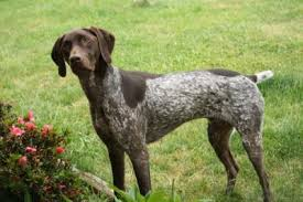 German Wirehaired Pointer Shedding by German Wirehaired Pointer Dogs German Wirehaired Pointer Dog