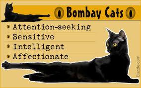 bombay cats brilliantly interesting personality traits of bombay cats