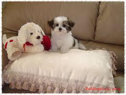 Cute Low Shedding Dogs by Mi Ki Puppy Mi Ki Breeder Mi Ki Dog Breeders Low Shedding Breed