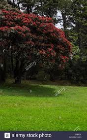 Christmas Tree Species Nz by Excelsa Stock Photos U0026 Excelsa Stock Images Alamy