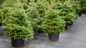 Best Live Christmas Trees For Allergies by Christmas Tree Shopping Here U0027s What You Need To Know Today Com