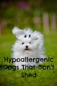 Best Dog Breeds That Dont Shed by Hypoallergenic Dogs That Don U0027t Shed Allergies Dog And Animal