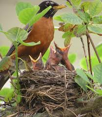 Wild Birds Unlimited: May 2015 Wild Birds Unlimited Common Backyard Bird Nest Idenfication Sounds Articles Old Farmers Almanac Whibreasted Nuthatch Sitta Carolinensis Birds Certhioidea Best 25 Birds Ideas On Pinterest Pretty Blue A Brown Headed Cowbird At Thicksons Woods Debunk 12 Myths About Feeding Cute Rbreasted Nuthatch Winter Of Wisconsin Species Infographic Poster By Diana Sudyka The Worlds Photos And Sviceberry Flickr Hive Mind Grow These Native Plants So Your Can Feast Audubon What I Find In My Ontario Canada Youtube