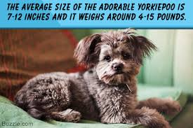 looking for information about yorkiepoos go through these facts