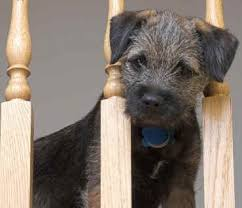 Border Terrier Non Shedding by Border Terrier Non Shedding 28 Images These Dogs Possess A