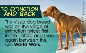 Vizsla Dog Breed Shedding by Intriguing Facts About The Very Intelligent Vizsla Dog Breed