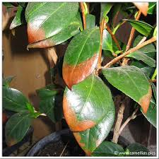 entretien du camelia en pot les maladies des camellias