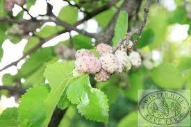 Winter Hill Tree Farm Weeping Mulberry Morus Alba Pendula