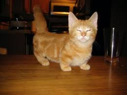 munchkins cats munchkin cat breed facts petmd petmd