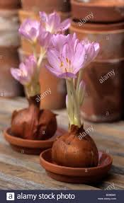 autumn crocus colchicum autumnale grown as bare bulb stock photo