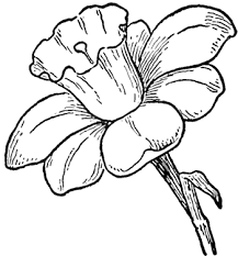 How To Draw Daffodils With Daffodil Drawing Lessons