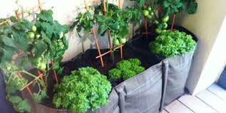 entretien tomate cerise en pot photos de conception de maison