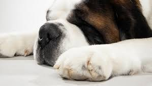Do Smooth Coat St Bernards Shed by Saint Bernard Dog Breed Selector Animal Planet