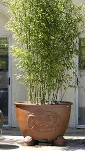 planting bamboo in a pot privacy potted bamboo plants frequently asked questions about