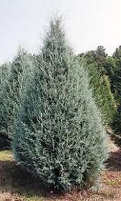 The Carolina Sapphire And Similar Variety Blue Ice Are New Christmas Tree