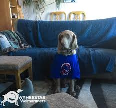 Do Long Haired Weimaraners Shed by Long Hair Weims Owyheestar Weimaraner U0027s News