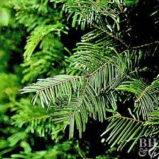 Best Smelling Christmas Tree Types by 100 What Christmas Tree Smells The Best Why Christmas Trees