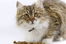 cat wont eat what to do if your cat won t eat petcha
