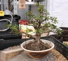 pot bonsai grande taille parlons bonsai stage satsuki team rédac