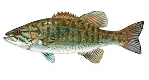 Smallmouth Clip Art Fishing