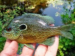 Pumpkin Seed Sunfish Pictures by Bass Sunfish U2013 Lifelist Fishing