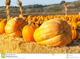 Pumpkin Patch Farm Half Moon Bay by Pumpkin Patch In California Royalty Free Stock Photography