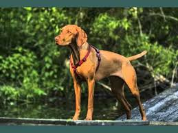 Vizsla Dog Breed Shedding by Vizsla Dogs Dog Breed Vizsla Set Of Cute Pictures Youtube
