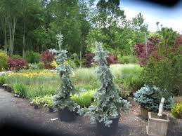 Flowers Ornamental Grasses Weeping Blue Spruce Picea Pungens Pendula