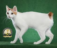 bobtail cat breed profile the japanese bobtail