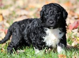 Portuguese Water Dog Shedding Problems by View Ad Portuguese Water Dog Puppy For Sale Pennsylvania Mount