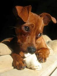 miniature pinscher breed information history health pictures