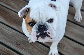 the best worst dog breeds for apartment living dolly blog